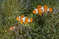 Clown Anemonefish (Amphiprion ocellaris) trio in M