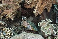 Hawksbill Sea Turtle (Eretmochelys imbricata) in c