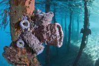 Sponges on stilts, Raja Ampat Islands, Indonesia