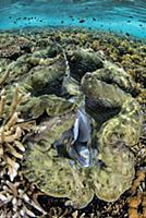 Giant Clam (Tridacna gigas) in coral reef, Raja Am