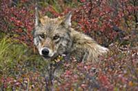 Серый волк (Canis lupus), отдыхающий в осенней тун