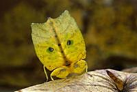 Leaf Insect (Phyllium sp) displaying tail showing