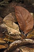 Katydid (Tettigoniidae) camouflaged in leaf litter