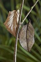 Indian Leaf Butterfly (Kallima paralekta) mimickin