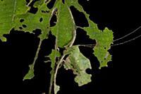 Leaf Katydid (Typophyllum bolivari) male camouflag