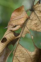 Grasshopper (Chorotypus sp) mimicking leaf, Malays