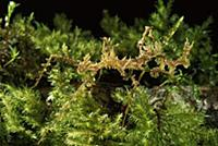 Walking Stick insect camouflaged as lichen, Costa