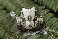 Bird-dropping Crab Spider (Phrynarachne decipiens)