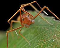 Ant-mimic Crab Spider (Amyciaea lineatipes), ant m