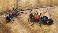 Velvet Ant (Pristomutilla sp) with its mimic, the