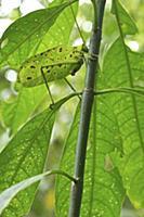 Katydid (Tettigoniidae) camouglaged against leaves