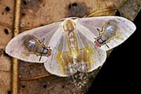 Moth (Macrocilix maia), with false fly spots, Danu