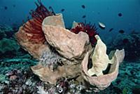 Frogfish (Antennarius sp) resembles a sponge and a