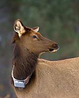 Elk (Cervus elaphus) female with tracking collar,
