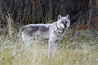 Gray Wolf (Canis lupus) with a radio collar, Alber