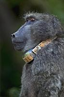 Chacma Baboon (Papio ursinus) alpha male wearing c