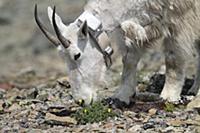 Mountain Goat (Oreamnos americanus) collared nanny