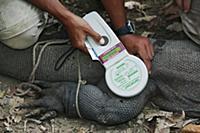 Komodo Dragon (Varanus komodoensis) being implante