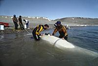 Beluga (Delphinapterus leucas) whale, being tagged
