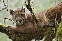 Mountain Lion (Puma concolor) male in tree during
