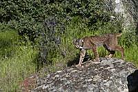 Spanish Lynx (Lynx pardinus) male, one year old, w