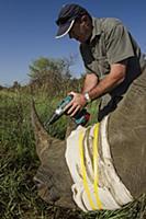 White Rhinoceros (Ceratotherium simum) sedated for