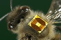 Honey Bee (Apis mellifera) with a RFID-Chip on its
