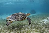 Hawksbill Sea Turtle (Eretmochelys imbricata) with