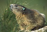 Alpine Marmot (Marmota marmota) adult with a resea