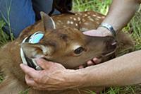 American Elk (Cervus elaphus nelsoni) two day old
