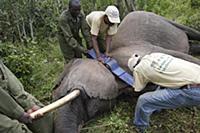 African Elephant (Loxodonta africana) female has G
