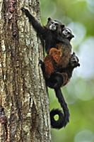 Saddle-back Tamarin (Saguinus fuscicollis) mother