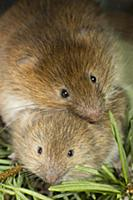 Red Tree Vole (Arborimus longicaudus) mother and t
