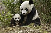 Giant Panda (Ailuropoda melanoleuca) mother and he
