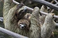 Pygmy Three-toed Sloth (Bradypus pygmaeus) mother