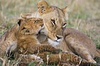 African Lion (Panthera leo) mother and young cubs,