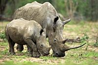 White Rhinoceros (Ceratotherium simum) mother and