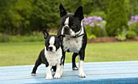 Boston Terrier (Canis familiaris) mother and puppy