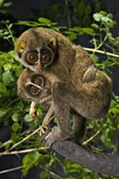 Slender Loris (Loris tardigradus) mother and baby,