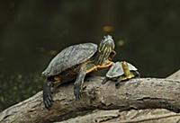 Red-eared Turtle (Trachemys scripta elegans) intro