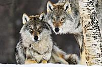 Серый волк (Canis lupus), пара в снежном лесу, Нор