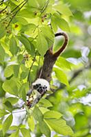 Cotton-top Tamarin (Saguinus oedipus) feeding on f