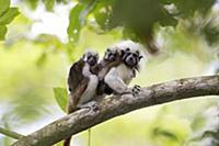 Cotton-top Tamarin (Saguinus oedipus) mother carry