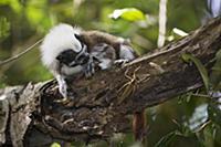 Cotton-top Tamarin (Saguinus oedipus) hunting a ka