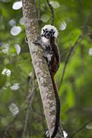 Cotton-top Tamarin (Saguinus oedipus) calling, nor