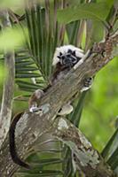 Cotton-top Tamarin (Saguinus oedipus), northern Co