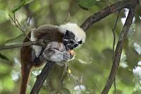 Cotton-top Tamarin (Saguinus oedipus) feeding on a