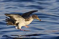 Cory's Shearwater (Calonectris diomedea) landing,