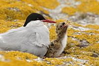 Arctic Tern (Sterna paradisaea) with begging chick