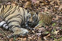 Bengal Tiger (Panthera tigris tigris) eight week o